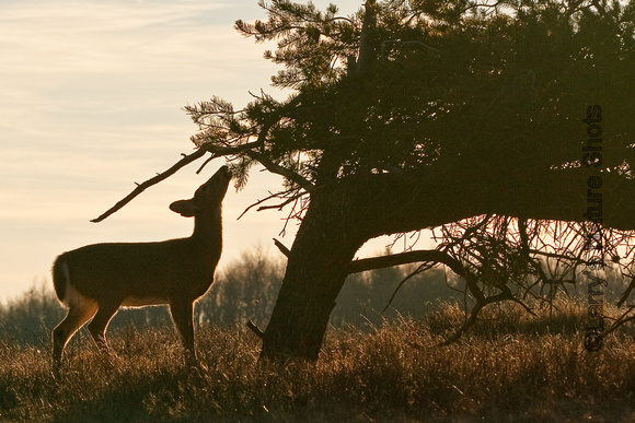 Doe and Pine Tree