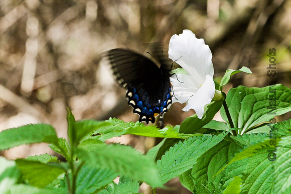 Butterfly and Trillium